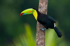 Keel Billed Toucan. Royalty Free Stock Image