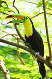 Keel-billed Toucan Stock Photos