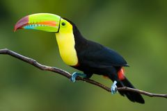 Keel Billed Toucan. Royalty Free Stock Photos