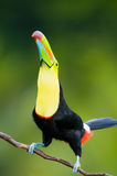 Keel Billed Toucan. Royalty Free Stock Photography
