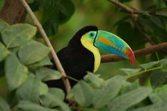 Keel-billed Toucan Royalty Free Stock Photo