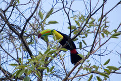 Keel Billed Toucan, from Central America. Royalty Free Stock Photos