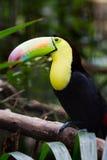 Keel billed toucan Stock Image