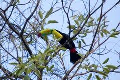 Keel Billed Toucan från Central America. Royaltyfria Foton