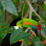 Keel billed toucan stock photos