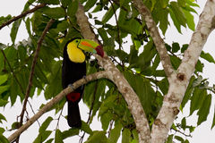 Keel billed toucan. The national bird of Belize, keel billed toucan perched on a tree royalty free stock image