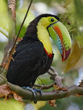 Keel-billed Toucan in the Panama Rainforest. Keel-billed Toucan (Ramphastos sulfuratus) perched in a tree - Panama royalty free stock photography