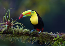 A Keel-billed toucan perched on branch in Costa Rica Royalty Free Stock Images