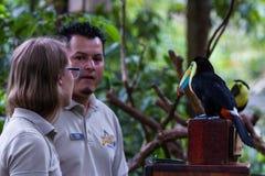 Keel billed toucan - ramphastos sulfuratus Royalty Free Stock Photos