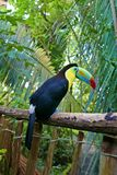Keel-billed toucan. The keel-billed toucan Ramphastos sulfuratus, also known as sulfur-breasted toucan or rainbow-billed toucan stock images