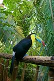 Keel-billed toucan. The keel-billed toucan Ramphastos sulfuratus, also known as sulfur-breasted toucan or rainbow-billed toucan stock photo