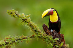 Keel-billed Toucan, Ramphastos sulfuratus, bird with big bill. stock photography