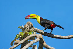 Keel-billed Toucan, Ramphastos sulfuratus, bird with big bill, with food in beak, in habitat with blue sky, Costa Rica Royalty Free Stock Image