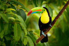 Keel-billed Toucan, Ramphastos sulfuratus, bird with big bill. Toucan sitting on the branch in the forest, Boca Tapada, green vegetation, Costa Rica. Nature stock photo