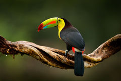 Keel-billed Toucan, Ramphastos sulfuratus, bird with big bill. Toucan sitting on branch in the forest, Guatemala. Nature travel in. Costa Rica