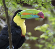 Keel-Billed Toucan. Ramphastos sulfuratus,Costa Rica royalty free stock photography