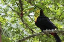Keel-Billed Toucan. Ramphastos sulfuratus, Costa Rica stock image