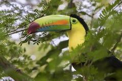 Keel-Billed Toucan. Ramphastos sulfuratus,Costa Rica stock images