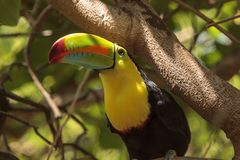 Keel-billed toucan Ramphastos sulfuratus. Is a colorful bird with a long bill and is the national bird of Belize Stock Photography
