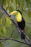 Keel-billed Toucan - Ramphastos sulfuratus. Large colorful toucan from Costa Rica forest with very colored beak Royalty Free Stock Photos