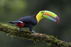 Keel-billed Toucan - Ramphastos sulfuratus. Large colorful toucan from Costa Rica forest with very colored beak Stock Photo