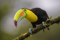 Keel-billed Toucan - Ramphastos sulfuratus. Large colorful toucan from Costa Rica forest with very colored beak Royalty Free Stock Photography