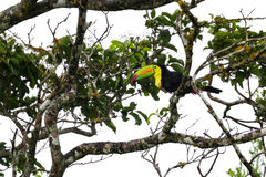 Keel-billed toucan Ramphastos sulfuratus. Keel billed toucan perched on a tree branch in the middle of a rain storm stock photos