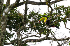 Keel-billed toucan Ramphastos sulfuratus. Keel billed toucan perched on a tree branch in the middle of a rain storm royalty free stock image