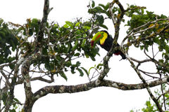 Keel-billed toucan Ramphastos sulfuratus. Keel billed toucan perched on a tree branch in the middle of a rain storm stock images