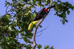 Keel-billed toucan Ramphastos sulfuratus Royalty Free Stock Photos