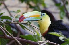 Keel-billed Toucan, Ramphastos sulfuratus, at Poas Volcano National Park - Costa Rica royalty free stock photo
