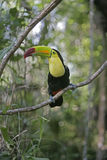 Keel-billed toucan, Ramphastos sulfuratus Stock Photo