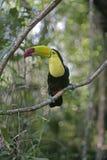 Keel-billed toucan, Ramphastos sulfuratus. Single bird on branch, Belize stock photo