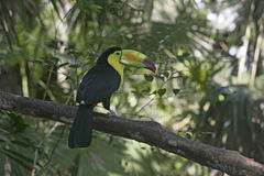 Keel-billed toucan, Ramphastos sulfuratus Royalty Free Stock Photography
