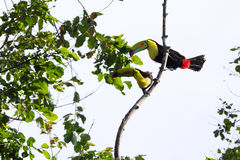 Keel-billed toucan Ramphastos sulfuratus. Two keel billed tucans perched on a tree in the  Rainforest of Costa Rica Royalty Free Stock Photography