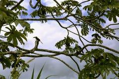 Keel-billed Toucan (Ramphastos sulfuratus) Royalty Free Stock Image