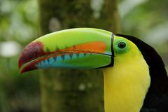 Keel Billed Toucan royalty free stock photography