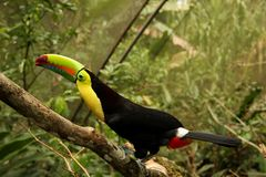 Keel Billed Toucan Royalty Free Stock Images