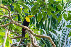 Keel-billed Toucan Stock Images