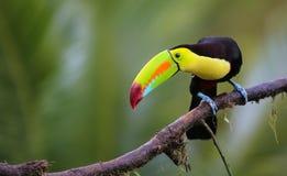 Keel Billed Toucan sammanträde på en branchin Costa Rica Arkivfoto