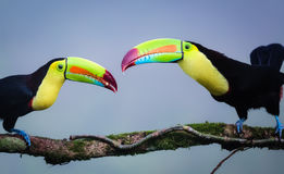 Keel Billed Toucans Lizenzfreie Stockbilder