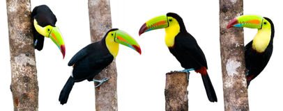 Keel Billed Toucans, from Central America. Royalty Free Stock Photos