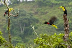 3 keel-billed toucans on tree stumps stock photos