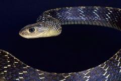 Keeled吃鼠的蛇/Ptyas carinata 免版税库存图片