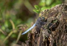 Keeled-Abstreicheisen-Libelle Orthetrum-coerulescens Mann, der auf totem Holz sitzt Stockfoto