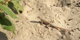 Keeled Earless Lizard. Male Keeled Earless lizard  (Holbrookia propinqua stonei), on the beach in South Padre Island, Texas Stock Photos
