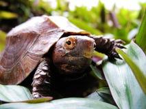 Keeled Kasten-Schildkröte Pyxidea mouhotii Lizenzfreies Stockfoto