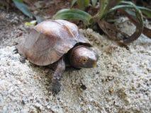 Keeled Kastenschildkröte Stockbild