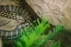 Keeled rat (Ptyas carinata) in the snake farm. Commonly known as. The keeled rat snake, Ptyas carinata is a species of colubrid snake Royalty Free Stock Photography