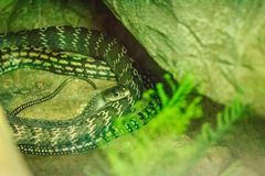 Keeled rat (Ptyas carinata) in the snake farm. Commonly known as. The keeled rat snake, Ptyas carinata is a species of colubrid snake Royalty Free Stock Image
